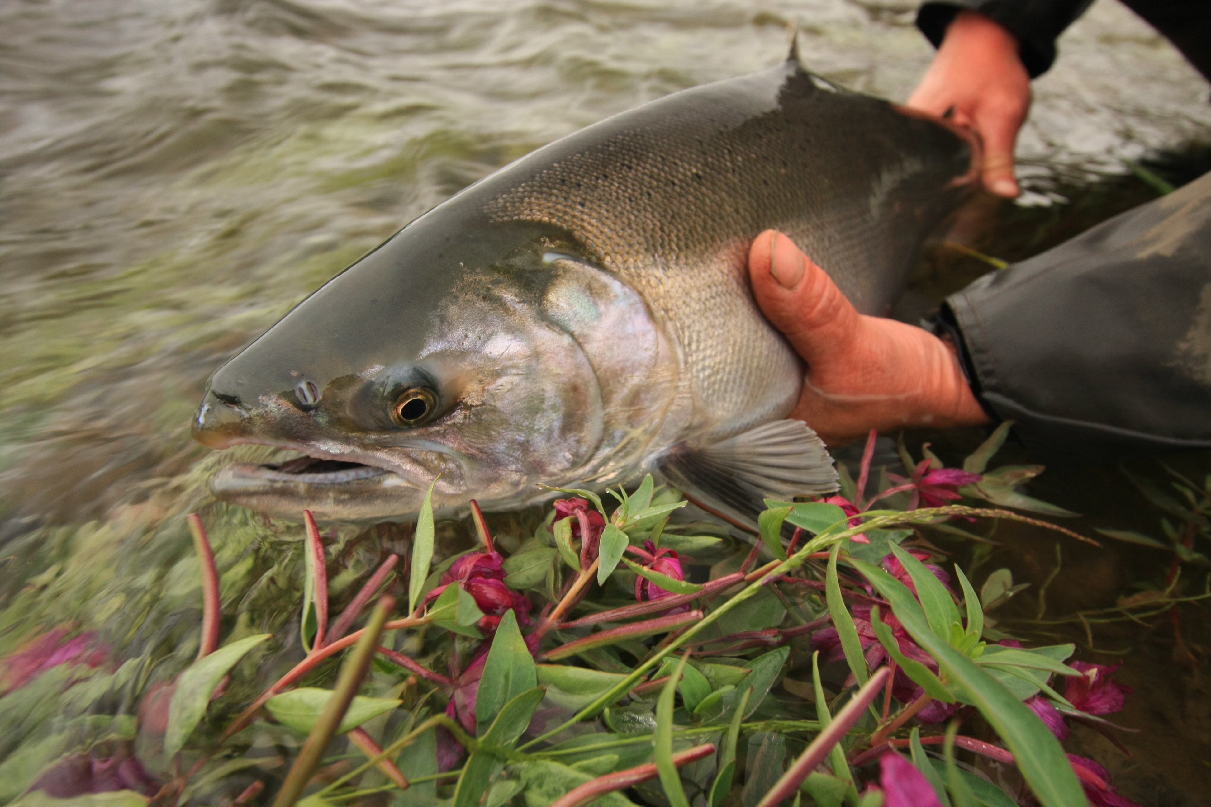 Alaska fly fishing float trips with frontier river guides for Alaskan fishing trips